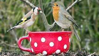 Beautiful Birds Singing and Chirping on The Big Red Tea Cup Bird Feeder