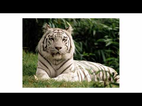 white tiger (photos)