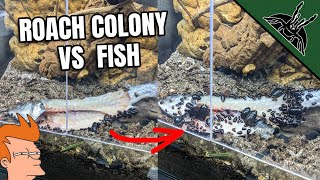 Can my ROACH COLONY eat A FISH?