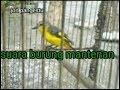 Suara Burung Mantenan Khas Original  Mp3 - Mp4 Download