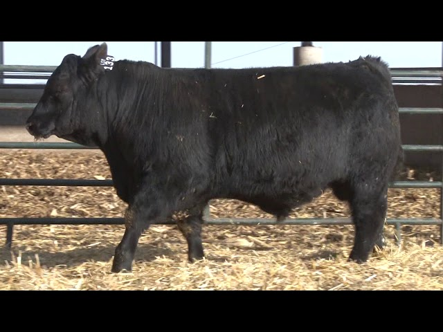Schiefelbein Angus Farms Lot 133