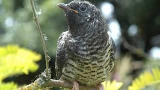 Auf einem Baum ein Kuckuck - Rio Reiser