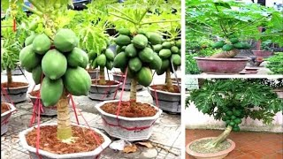 Plante e Colha Mamão em Vasos de 40 Litros