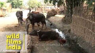 Livestock in rural Nepal