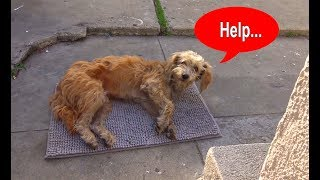 Hope For Paws: Stray dog walks into a yard and then collapses... thumbnail