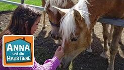 Haflinger | Information für Kinder | Anna und die Haustiere