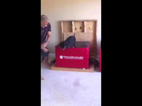Grover the super rescue dog doing box jumps