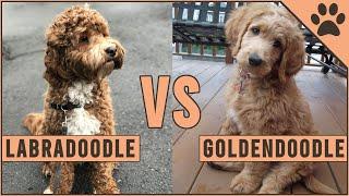 Labradoodle vs Goldendoodle  ¿Qué raza de perro es mejor? | Perros Mundo