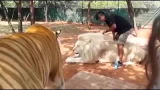 The biggest tiger and lion in the world 2016