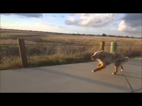 Australian Shepherd running full speed!