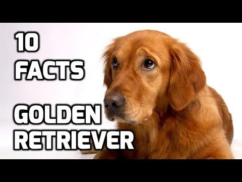 Top 10 Facts about Golden Retriever