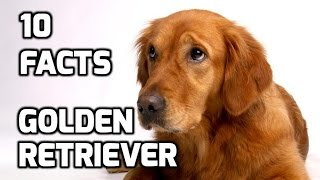 Top 10 Facts about Golden Retriever