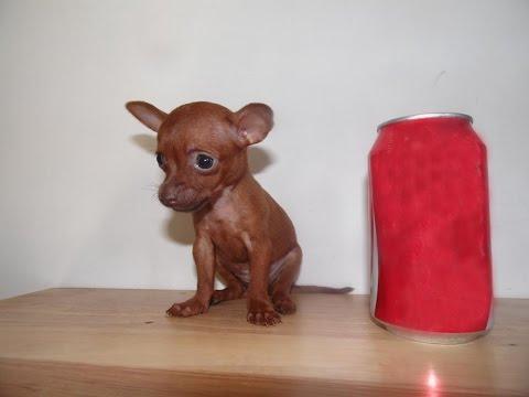 Envio a Merida de una chihuahua de bolsillo .. muy inquieta.из YouTube · Длительность: 51 с  · Просмотров: 397 · отправлено: 06.08.2016 · кем отправлено: Chihuahuas de Bolsillo