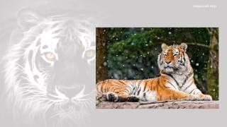 Презентация 2 Амурский тигр