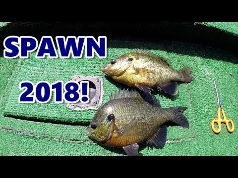 Bluegill and Shellcracker Fishing With Bobbers - Great Technique For Spawn