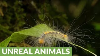 Long-haired caterpillar in Amazon rainforest of Ecuador
