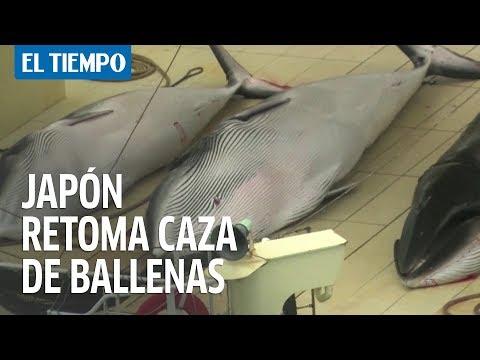 Japón retomará abiertamente la caza comercial de ballenas   EL TIEMPO