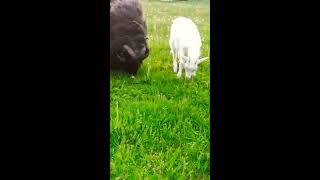 Kozy, owce pasące sie male kózki wieś. Jak wyglada mala koza ?