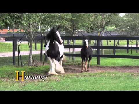 Harmony:  Gypsy Vanner Horses for Sale  Mare  Piebald