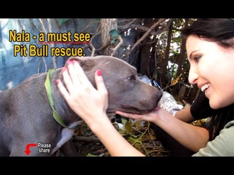 Nala – Scared stray Pit Bull living in a ditch – rescued! Please share on facebook & twitter