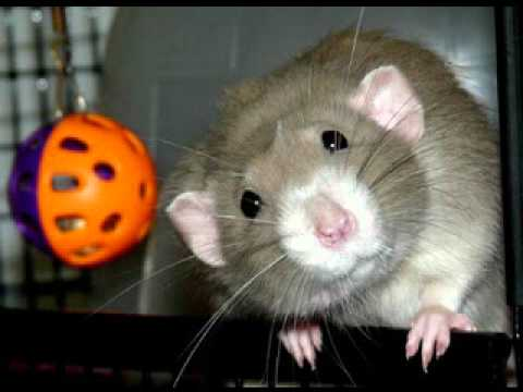 funny rats florida pet rat photos 2010 youtube. Black Bedroom Furniture Sets. Home Design Ideas
