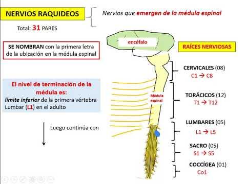 NERVIOS ESPINALES O RAQUIDEOS EPUB