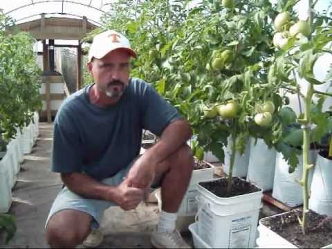 Greenhouse Tomatoes and Other Vegetables