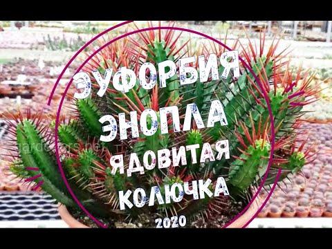 Эуфорбия Энопла - ядовитая колючка / Euphorbia Enopla - Cute Poison Spike