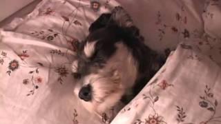 Sleeping Puppy Miniature Schnauzer