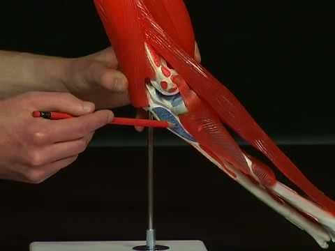Anatomie Ellenbogen - YouTube