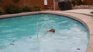 American Cocker Spaniel Diving Into Pool, July 2014