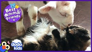 Charlie the Sheep Shows His Cat Friend How To Eat Hay | Dodo Kids: Best Animal Friends