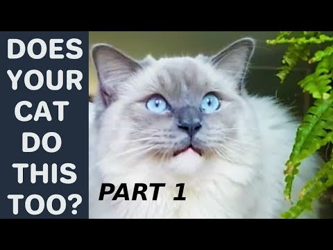 Does Your Cat Do This Too? - Poll. Part 1. Compilation with Bowie The Ragdoll Cat