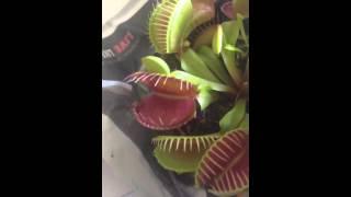 comment nourrir sa plante carnivore