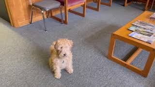 Ruby Lakeland Terrier in the Office
