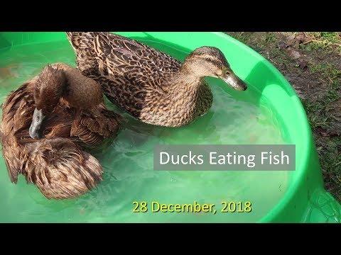 Ducks Eating Fish