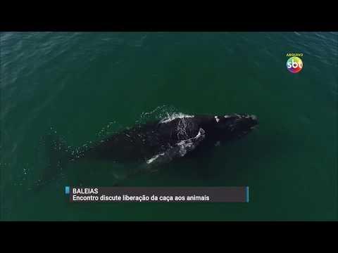 Encontro em Florianópolis discute a liberação da caça às baleias