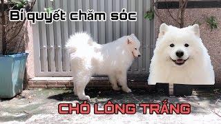 Chia sẻ kinh nghiệm chăm sóc lông trắng chó Samoyed (Samoyed dog)