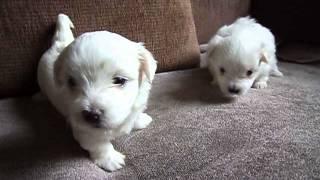 Purebred Maltese Pups Nottingham