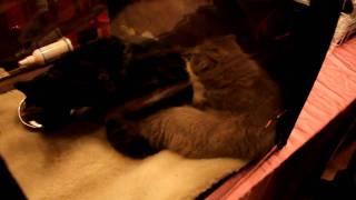 Выставка кошек в Харькове 28.11.2009 ХАТОБ ч.7