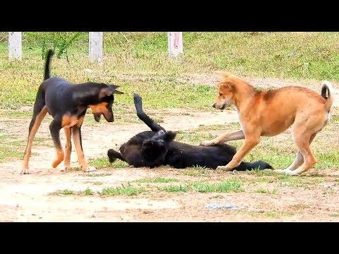 Australian kelpie, Phuquoc Ridgeback dog and Indian pariah dog, happy play together!!