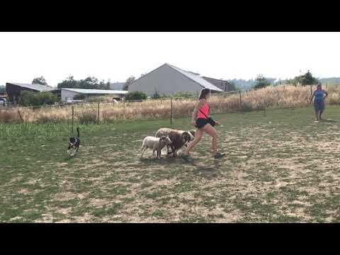 Australian shepherd Muffin 1st time at sheep, 5 months old