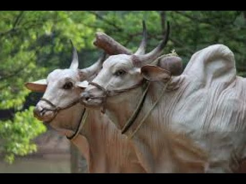 Modern ways of Hainu  garike  Cow farming