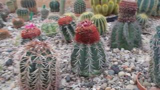 Szklarnie w Ogrodzie Botanicznym UMCS w Lublinie - Kaktusy
