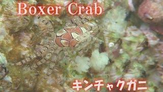 キンチャクガニ チアリーダーみたいなカニ boxer Crab