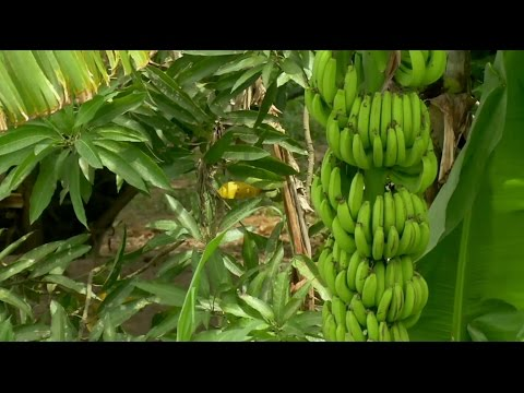 The end of bananas as we know them?