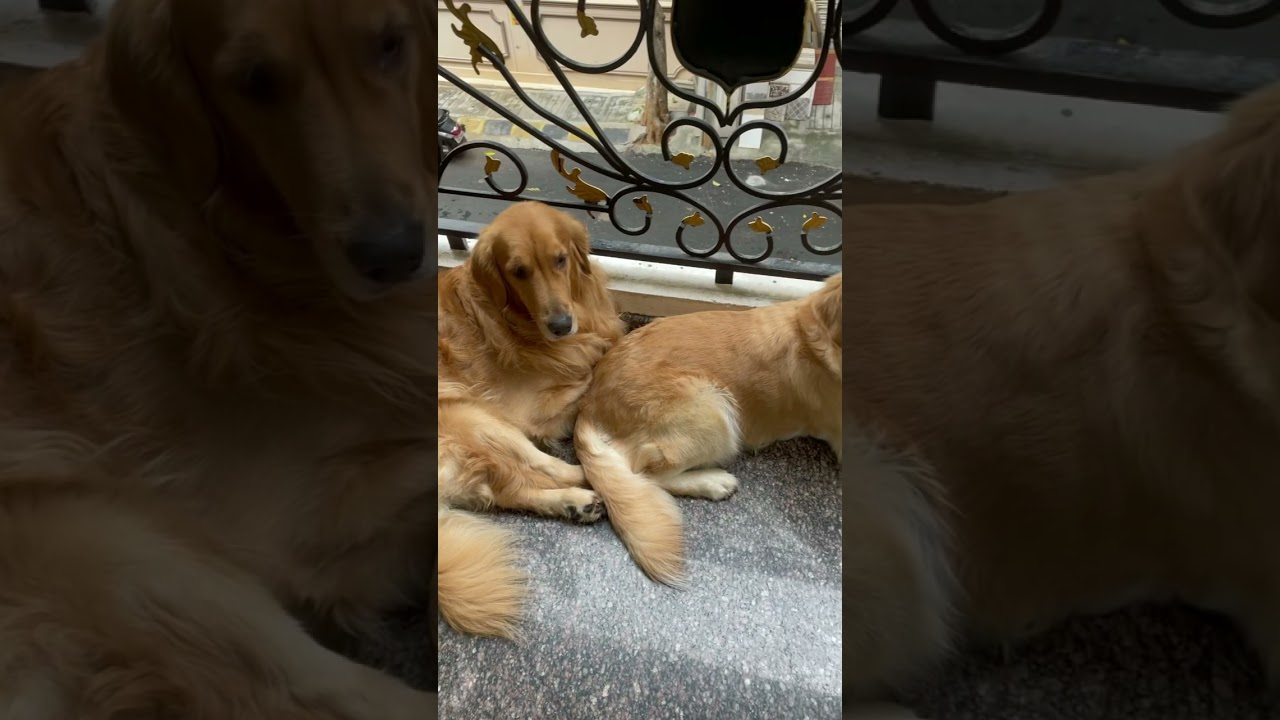 FC_Goldens | FC loves Hanging out in balcony | Golden Retrievers #Shorts