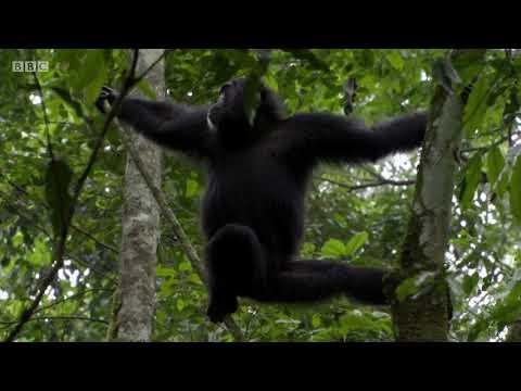 Chimpanzees Hunting - BBC