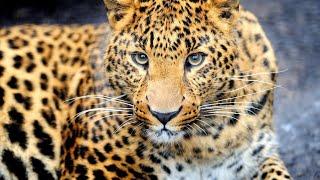 Леопард на ногтях гель лаком/Животные гель лаками/Дизайн гель лаком Animal
