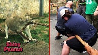 Download Video Ketika 3 Pegulat WWE Diadu Dengan 1 Ekor Singa, Siapa yang Menang? MP3 3GP MP4
